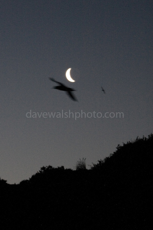 Short-tailed shearwaters or muttonbirds circling the moon before crash-landing at their burrows amongst a little or fairy penguin colony at Bruny Neck on Bruny Island, Tasmania. They fly so low that their wings were brushing the watchers.