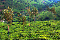 Nelliyampaty Hills Tea Fields in mumnar Kerala state india