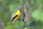 Finch Like Birds