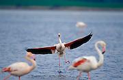 Flamenco rosa (Phoenicopterus ruber) adult landing on the lagoon..Fuente de Piedra lagoon, Malaga, Andalucia, Spain.