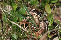 ........Common frog - vanlig frosk..
