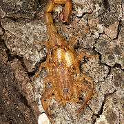 Buthidae family Scorpion on a tree trunk in Phu Khieo Wildlife Sanctuary, Thailand.