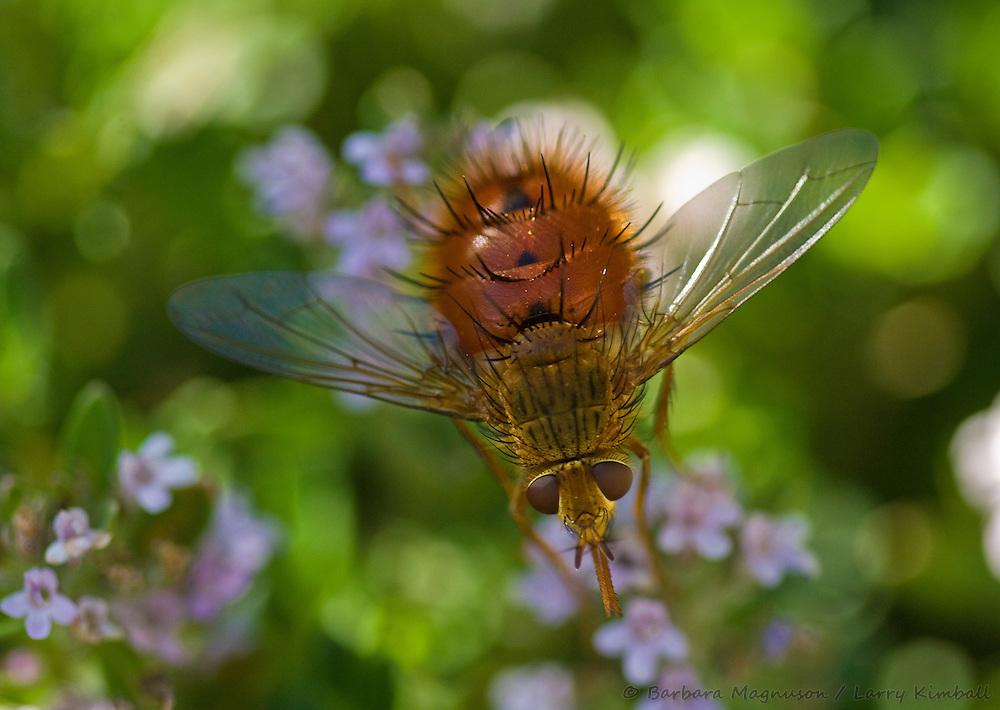 Beelike Tachinid Fly [Bombyliopsis abrupta] feeding on flower nectar; Fremont County, Colorado