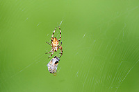 Unknown species of spider wraps a fly caught in it;s web, , Gabriola , British Columbia, Canada