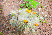 Flowering yellow mammilaria Cactus in a cactus garden