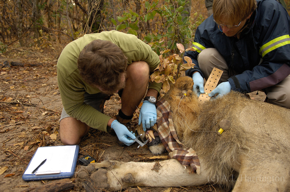 Brent measuring teeth Zeke fitting collar on lion 87