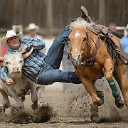A cowboy competing in the steer wrestling competition at the Falkland Stampede.