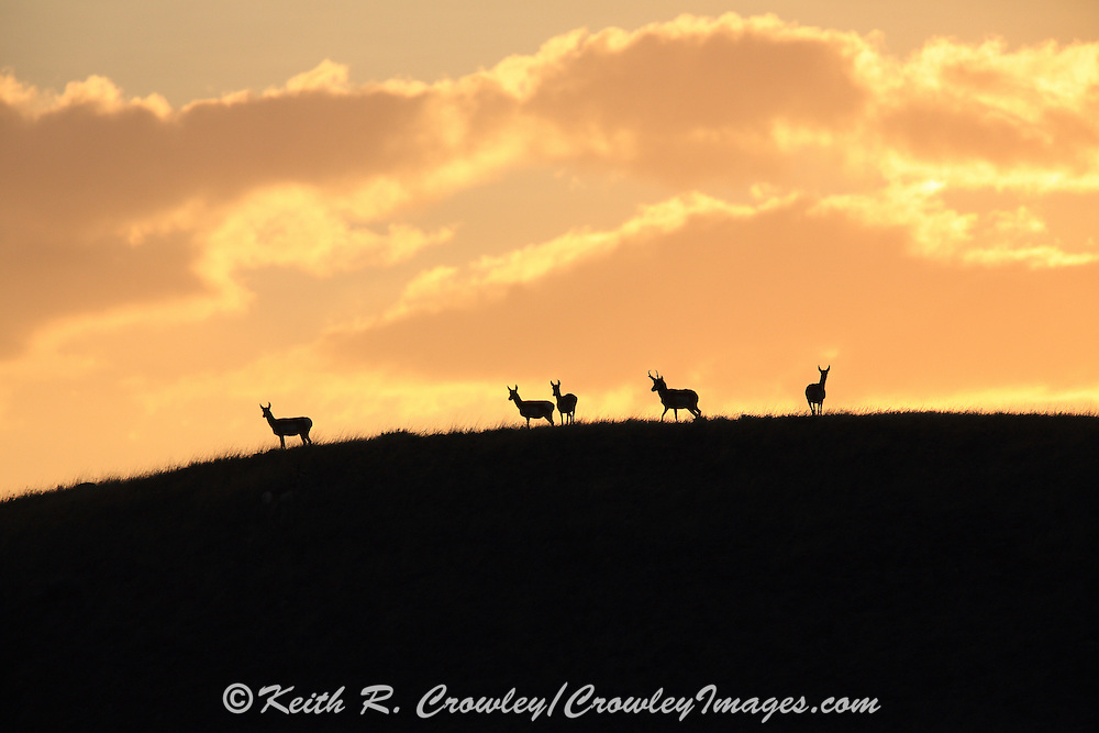 Pronghorn (Antelope) silhouetted against a prairie sunrise in Wyoming