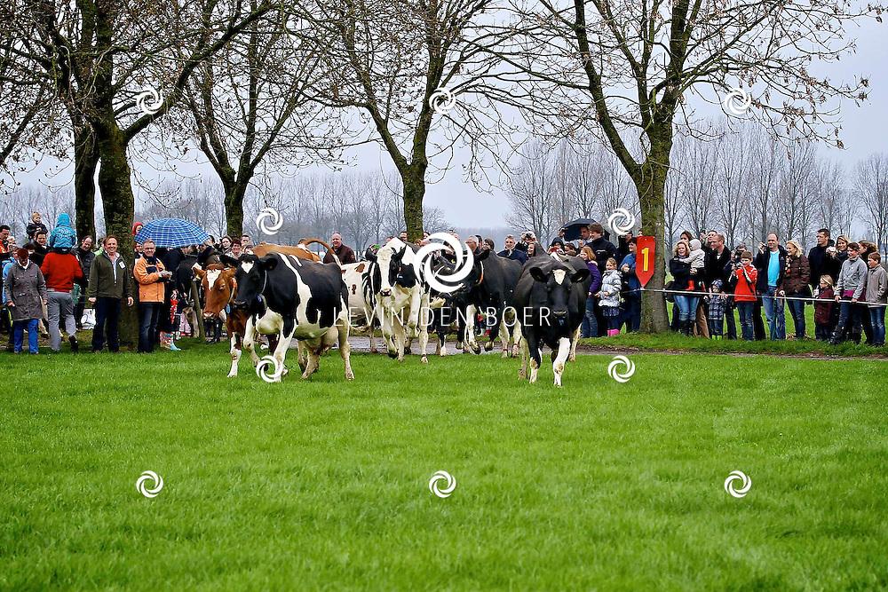 HEDEL - De koeien van Campina mogen na een winter op stal voor het eerst weer naar buiten. Dat gebeurt tijdens de Open Boerderijdag bij de familie Van Zeelst. FOTO LEVIN DEN BOER - PERSFOTO.NU