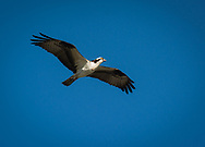 The osprey —also called fish eagle, sea hawk, river hawk, and fish hawk—is a diurnal, fish-eating bird of prey with a cosmopolitan range. It is a medium raptor, reaching more than 60 cm in length and 180 cm across the wings,