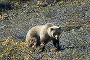 Wildlife photographs of Alaskan Brown Bear (Ursus arctos) from Denali National Park of The Alaska Range, AK
