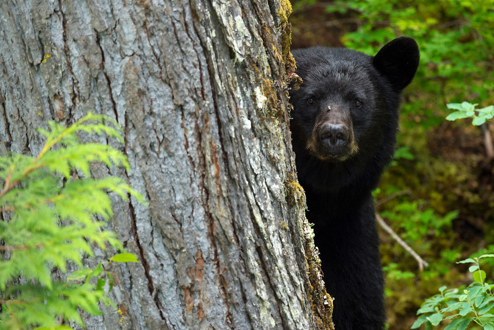 Black bear, Ursus americanus, Blue River, Clearwater, British Columbia, Canada, North America