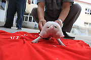 TIANJIN, CHINA - AUGUST 28: (CHINA OUT) <br /> <br /> Two-head And Three-ear Piglet Found<br /> <br /> A piglet with two heads and three ears is seen in Xiqing District on August 28, 2015 in Tianjin, China. Yang Jinliang, a man who is owner of a sesame oil workshop in Xiqing District of Tianjin, received a piglet from friend on Thursday while curiously the piglet had two heads and three ears. It seemed that its weak body could not afford the laden head so it always bowed. Nobody knew where it came and why it would be like that. <br /> ©Exclusivepix Media