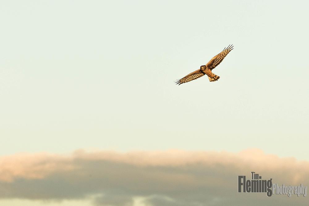 Northern Harrier  (Circus cyaneus) in Shollenberger Park, Petaluma, California