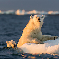 Canada, Nunavut Territory, Repulse Bay, Polar Bear and young cub (Ursus maritimus) floating alongside iceberg near Harbour Islands at sunset