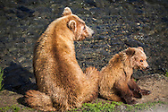 0445 Mom and Cub - Brown Bear - Alaska: Brooks Falls is one of the best places in the world to watch brown bears because it is one of the first streams in the region where bright, energetic, and pre-spawned salmon are available to bears. In July, most salmon are moving through large rivers and lakes where bears cannot successfully fish. Early in the salmon run, Brooks Falls creates a temporary barrier to migrating salmon. This results in a particularly successful fishing spot for bears. Once salmon stop migrating in large numbers, Brooks Falls is no longer a good place to fish and bears quickly abandon that spot for better fishing elsewhere.