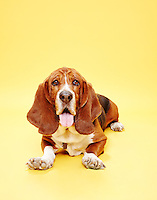 Basset Hound sitting straight on to camera with tongue out against yellow seamless.<br /> Photographed at the Photoville Photo Booth September 20, 2015