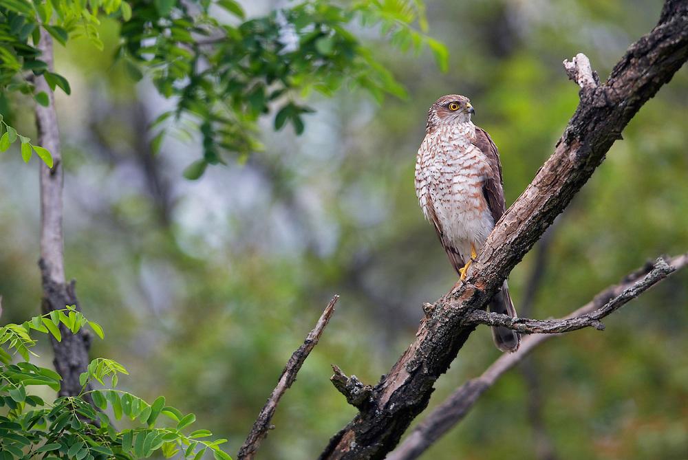 Sparrowhawk (Accipiter nisus) Pusztaszer Nature Reserve, Hungary