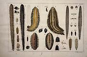 Sea worm from a zoology study of animals 'Dierkundige beschouwingen, eeniger soorten van zeldzame dieren, door naauwkeurige beschryvingen, afbeeldingen en verhandelingen opgeheldert' by Pallas, Peter Simon, Printed in Rotterdam in 1770
