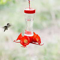 BIRDS — Hummingbirds + Swifts (Apodiformes)