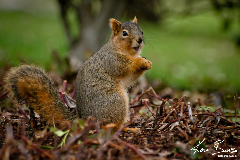 Picture of a Squirrel eating in Autumn.