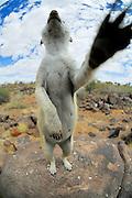 Erdmännchen (Suricata suricatta) nutzen jede Erhebung im Territorium, um Ausschau nach Gefahren, meist Schakalen und Adlern, zu halten. In diesem Gebiet hat eine Gruppe von Erdmännchen durch den regen Touristenstrom, der nicht ihnen sondern der Landschaft gilt, ihre Scheu den Menschen gegenüber abgelegt. Der Fotograf ist somit keine zu meldende Bedrohung sondern nur eine lästige Sichtbehinderung für den pflichtbewußten Wachposten. |  Suricate or Slender-tailed Meerkat (Suricata suricatta)
