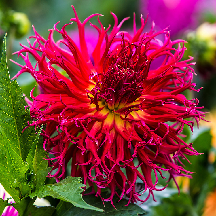 Aug 23 - 2014  San Francisco, ca Golden Gate Park Dahlias Garden,