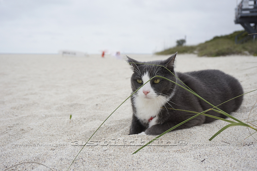 A cat on holiday, posing on the beach of Florida.