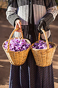 TALIOUINE, MOROCCO - October 25th 2015 - Freshly harvested saffron flowers in a woven wicker basket, Taliouine, Sirwa Mountain Range, Souss Massa Draa region of Southern Morocco
