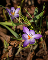 Early Purple Crocus flowers. A sign that spring is approaching. Image taken with a Leica TL2 camera and 55-135 mm telephoto zoom lens (ISO 100, 135 mm, f/5, 1/640 sec)