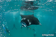 scuba divers surround a manta ray, Manta alfredi (formerly Manta birostris ), feeding on plankton, Hanifaru Bay, Baa Atoll, Maldives ( Indian Ocean )