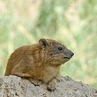 Fauna - Hyrax