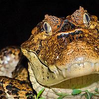 Alberto Carrera, Spectacled Caiman, White Caiman, Common Caiman, Caiman crocodilus, Tropical Rainforest, Costa Rica, Central America, America