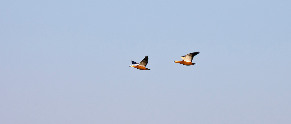 Ruddy Shelducks, Tadorna ferruginea, in flight above Ranthambhore National Park, Rajasthan, Northern India