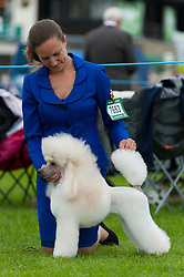 © Licensed to London News Pictures. 20/08/2017. Llanelwedd, Powys, UK. Miniature Poodles are seen at the judging rings on the last day of The Welsh Kennel Club Dog Show, held at the Royal Welsh Showground, Llanelwedd in Powys, Wales, UK. Photo credit: Graham M. Lawrence/LNP