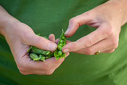 Handful of harvested peas - Pisum sativum
