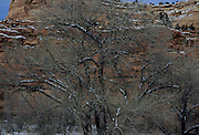 Cottonwood tree, Winter, Capitol Reef, Capitol Reef National Park, Utah