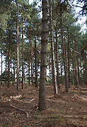 Pine trees in coniferous Rendlesham forest, Suffolk, England