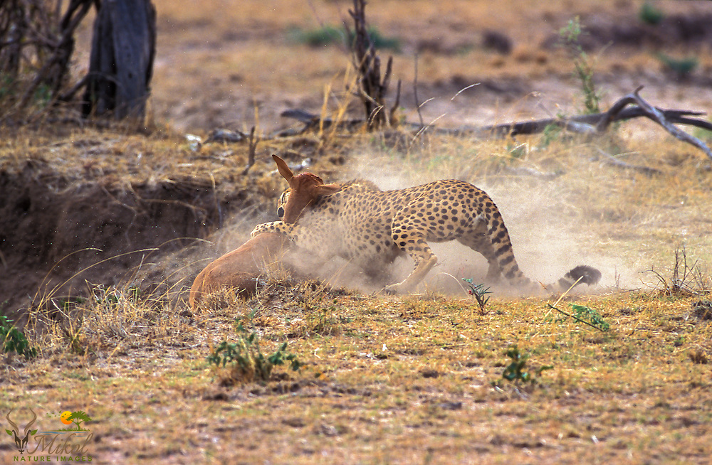Cheetah capturing topi calf, dust flying in the air as she goes to throttle her prey