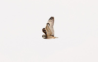 A Short Eared Owl in flight in almost white out conditions just after heavy snow squalls.