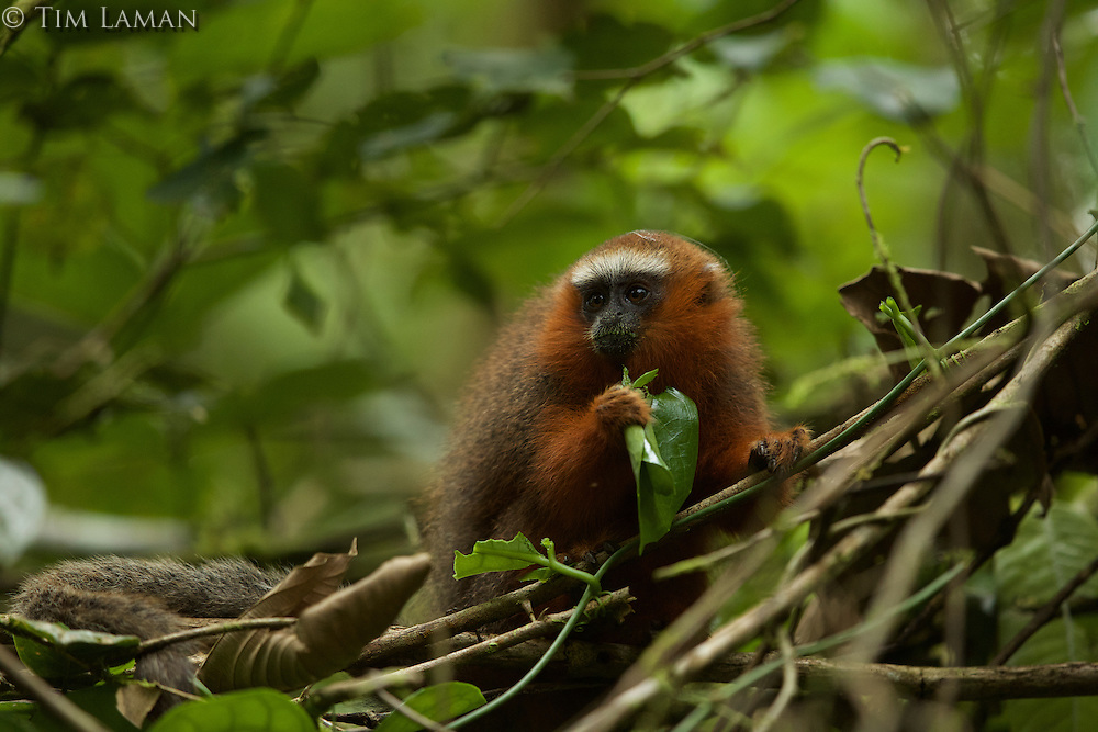 Dusky Titi Monkey (Callicebus discolor) eating leaves at the Tiputini Biodiversity Station, Orellana Province, Ecuador