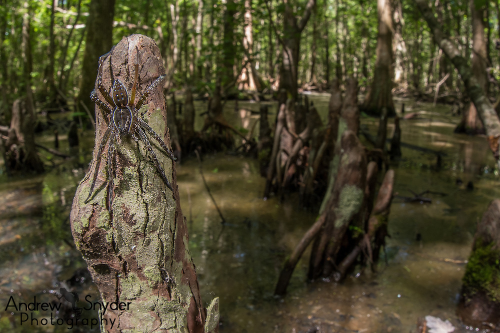 A six-spotted fishing spider (Dolomedes triton) sits on a cypress knee - Water Valley, Mississippi