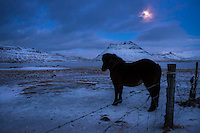 GRUNDARFJOROUR, ICELAND - CIRCA MARCH 2015: Icelandic horse at night near Grundarfjordur in Iceland against Kirkjufell mountain, a landmark in the Snaefellsness Peninsula.