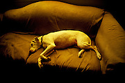 Image of dog sleeping on couch, English setter pointer mix, property released
