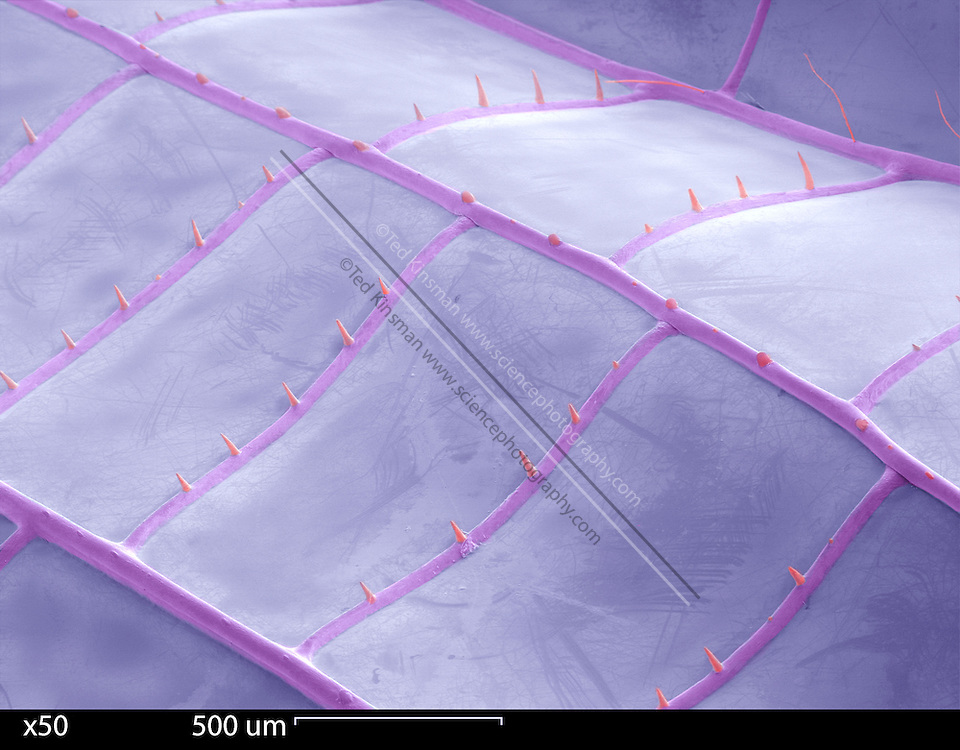 SEM of the underside of a Dragon Fly Wing (Anax junius).  Colored SEM image at 50x magnification.