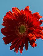 Red Daisy Rays