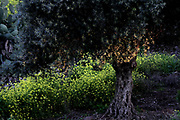 Olive tree in a grove