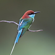 The blue-throated bee-eater (Merops viridis) is a species of bird in the family Meropidae.<br />