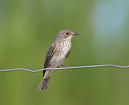 Spotted Flycatcher Muscicapa striata L 14cm. Charming, perky bird with unremarkable plumage. Recognised by upright posture and habit of making insect-catching aerial sorties from regular perches. Sexes are similar. Adult has grey-brown upperparts, streaked on crown, and pale greyish white underparts heavily streaked on breast. Juvenile is similar but has pale spots on back and dark spots on throat and breast. Voice Utters a thin tsee call. Song is simple and includes thin, call-like notes. Status Widespread summer visitor to open, sunny woodland, parks and gardens; often nests around habitation.