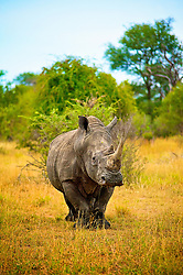 Apr 4, 2015 - South Africa - The white rhinoceros or square-lipped rhinoceros (Ceratotherium simum) is the largest and most numerous species of rhinoceros that exists. It has a wide mouth used for grazing and is the most social of all rhino species. (Credit Image: © Shannon Benson/VW Pics/ZUMAPRESS.com)